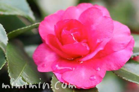 サザンカの花の写真&花言葉の画像