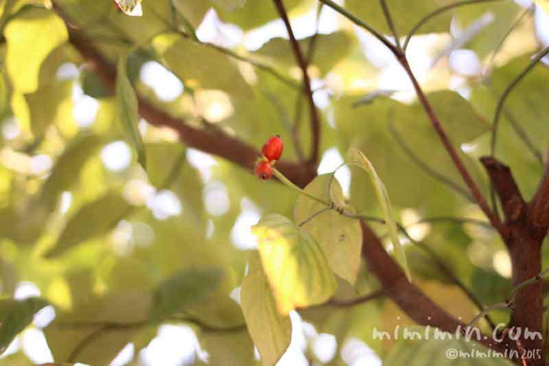ハナミズキ・花水木の実の画像