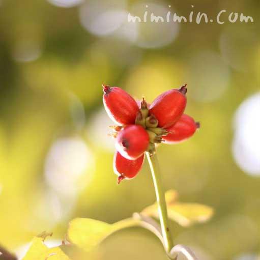 ハナミズキの赤い実の写真