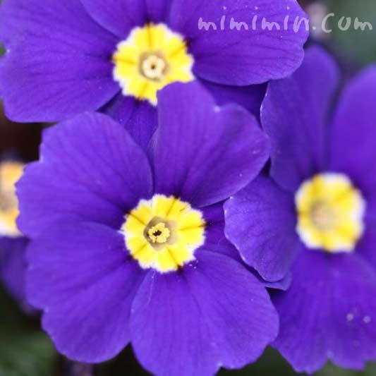 プリムラ・ポリアンサの花の画像