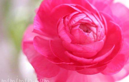 ピンクのラナンキュラスの画像