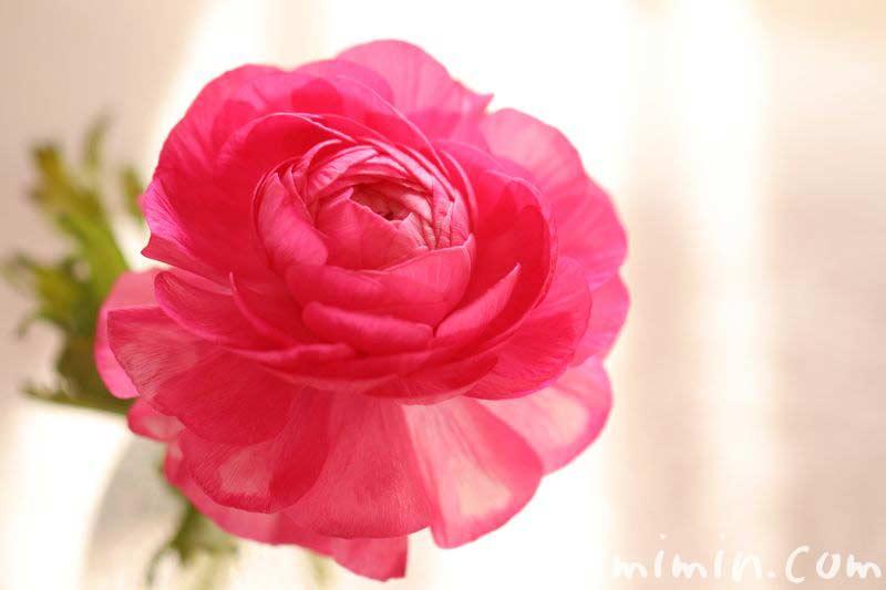 ピンクのラナンキュラスの花の画像