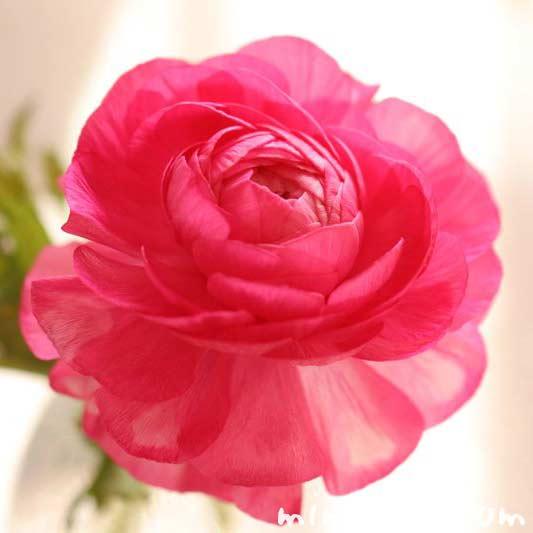 ラナンキュラスの花・ピンクの写真