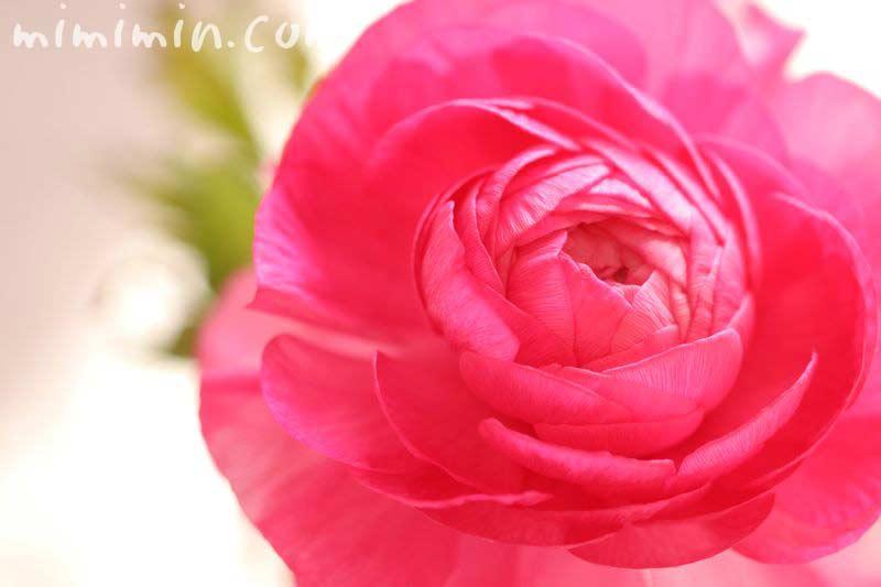 ラナンキュラス・ピンクの画像