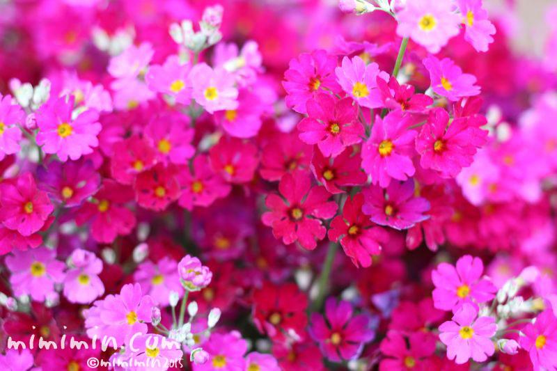 ピンクのプリムラ マラコイデスの写真