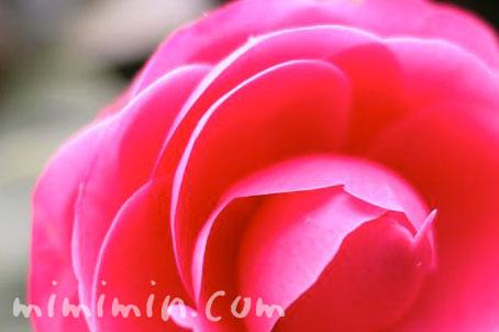 ツバキ(椿)の花の画像