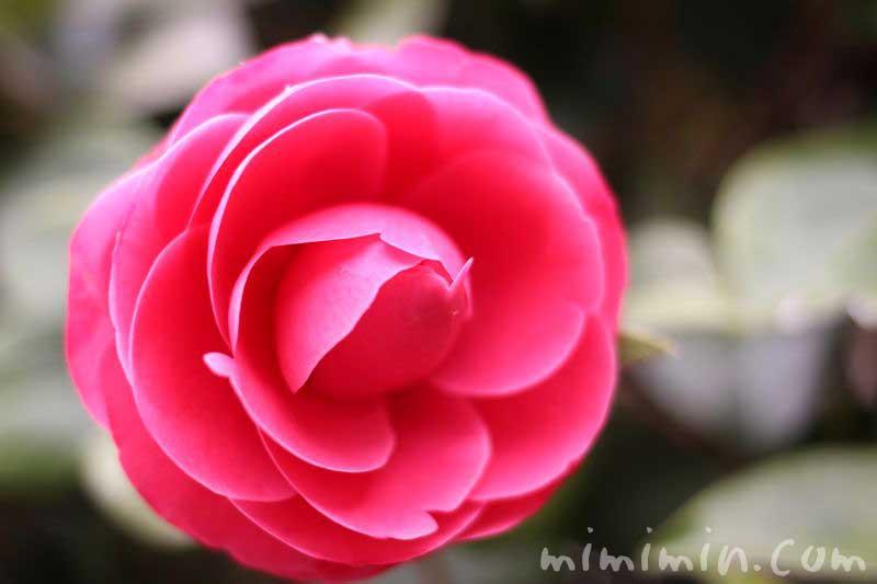 椿 千重咲きの写真