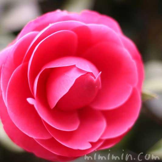 千重咲きのツバキの写真