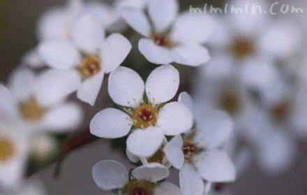 ユキヤナギ(雪柳)の花