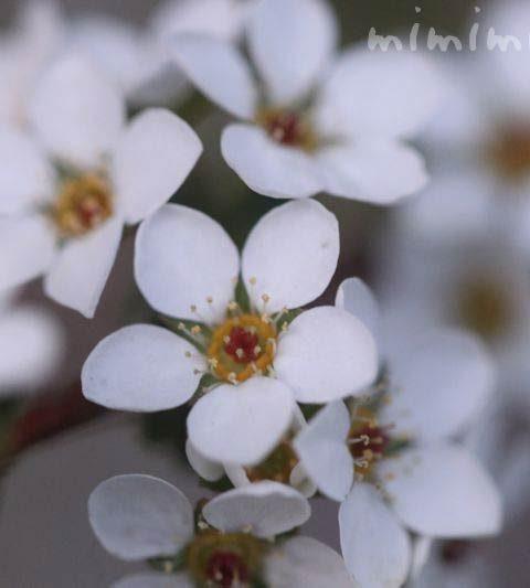 ユキヤナギ(雪柳)の花の写真・ユキヤナギの花言葉