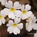 プリムラ・シネンシスの花の写真