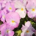 ピンクのパンジーの花