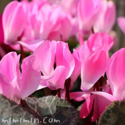 ピンクのシクラメンの花の画像