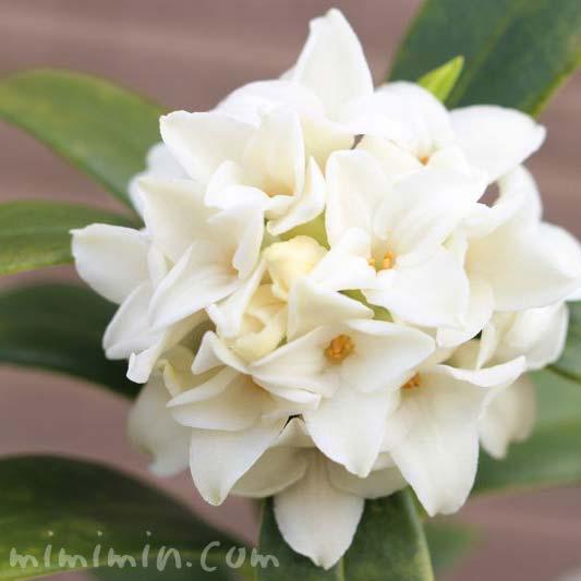 ジンチョウゲ(沈丁花)の花の写真