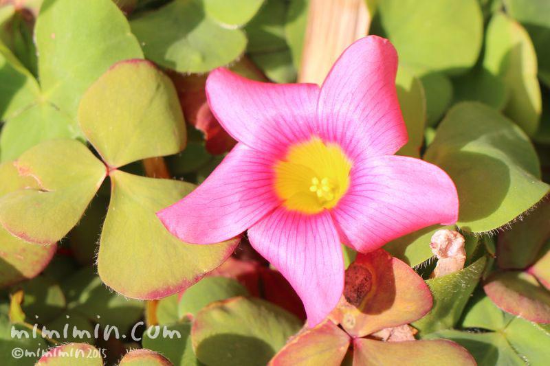オキザリスの花の写真
