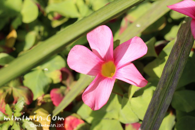 ピンクのオキザリスの花