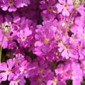 プリムラ マラコイデス(ピンク色)の花