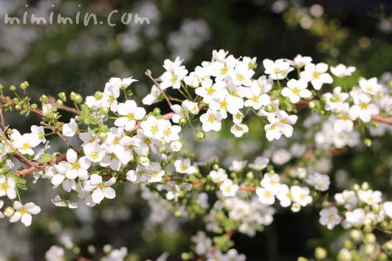 ユキヤナギの花の写真