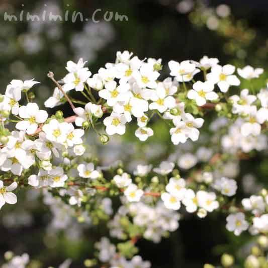 ユキヤナギ(雪柳)の花の写真