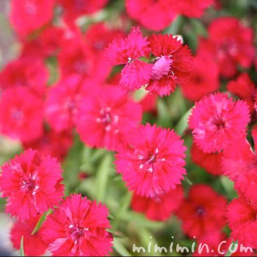 赤いナデシコの花の写真・花言葉・名前の由来の画像