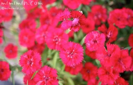 ナデシコの花の写真・花言葉・名前の由来の画像