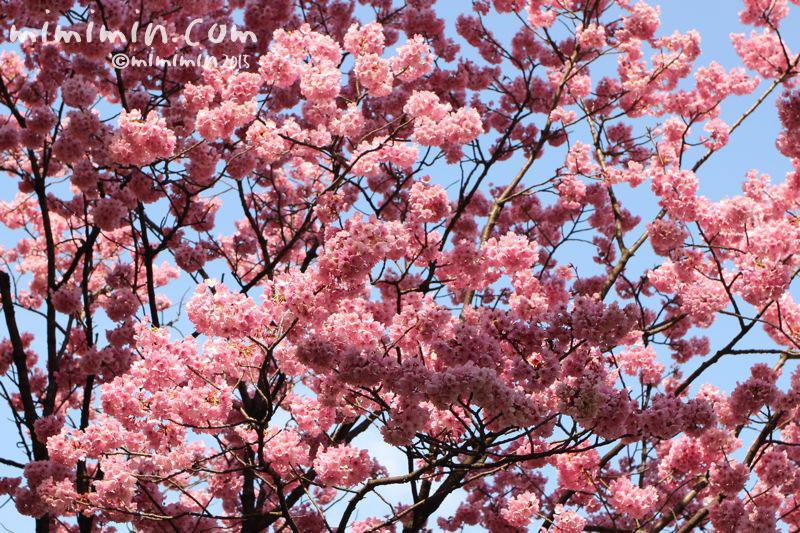ピンクの桜(六本木ヒルズ)の写真5