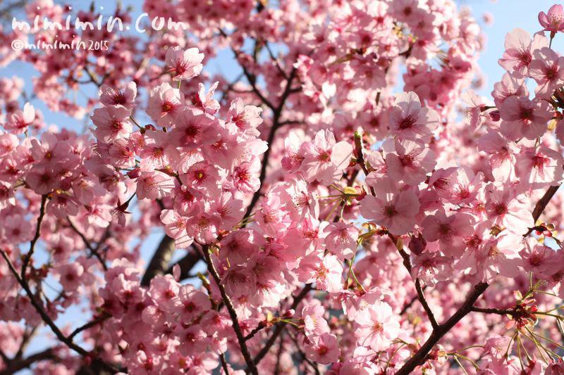 ピンクの桜(六本木ヒルズ)の写真4