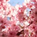 ピンクの桜(六本木ヒルズ)の写真