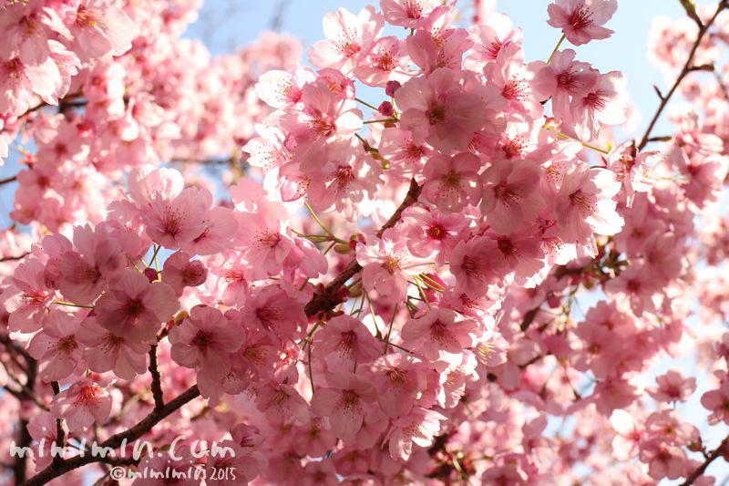 ピンクの桜(六本木ヒルズ)の写真3