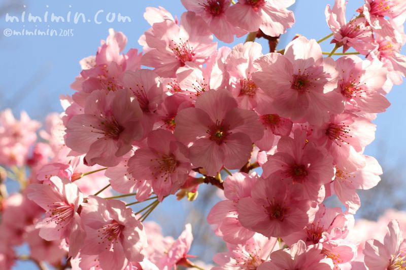 ピンクの桜(六本木ヒルズ)の写真2