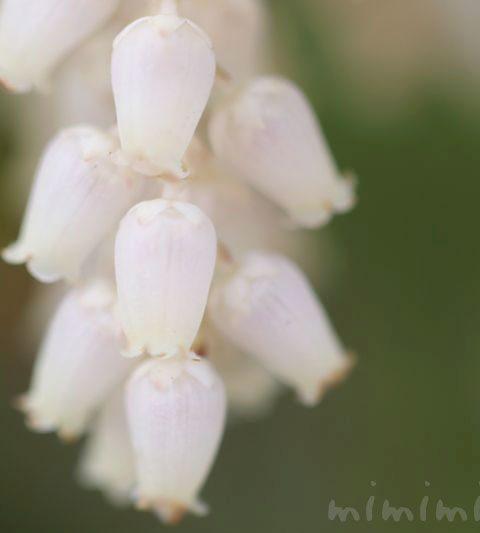 白いアセビ(馬酔木)|花の写真・花言葉