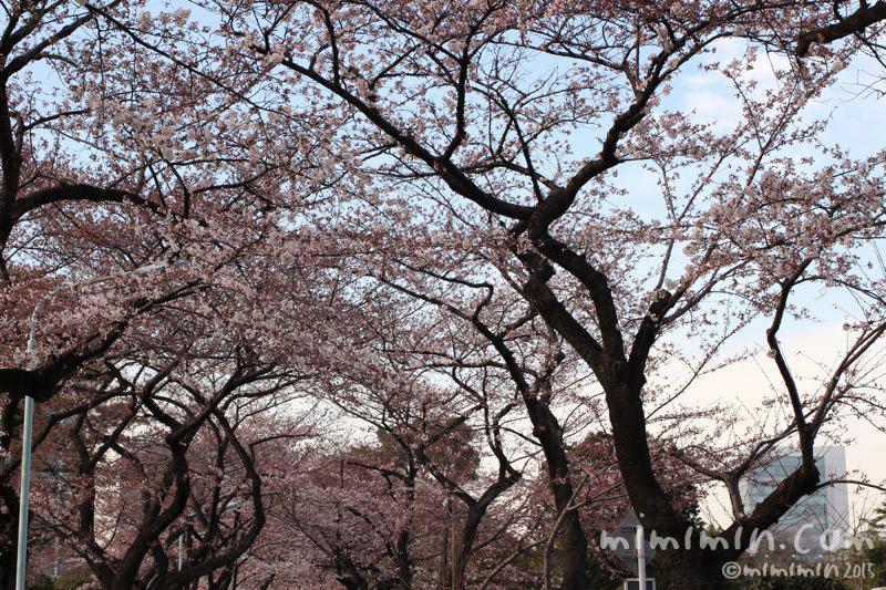 青山霊園の桜の写真3