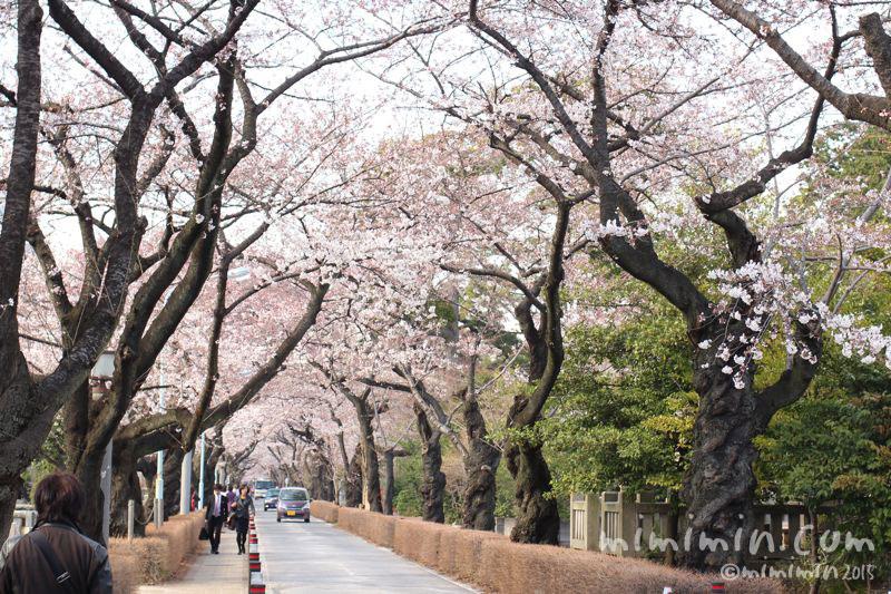 青山霊園の桜の写真