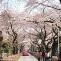 青山霊園の桜のトンネルの写真