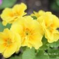 黄色いプリムラの写真