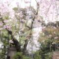 愛宕神社の桜の写真