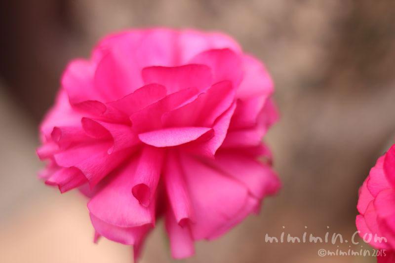 ナンキュラス(濃いピンク)の写真2