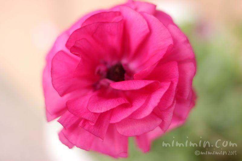 ラナンキュラス(濃いピンク)の写真