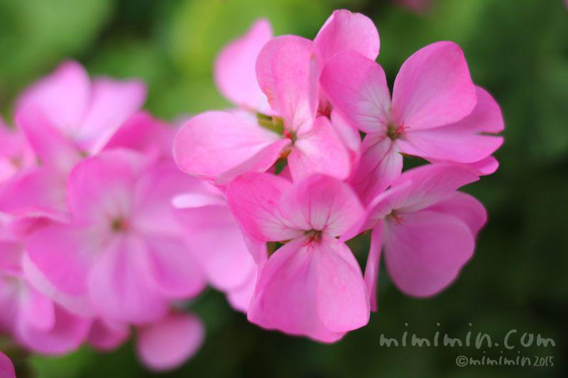 ゼラニウムの花(ピンク色)