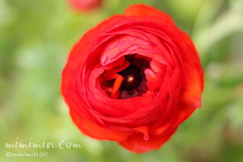 赤いラナンキュラスの花