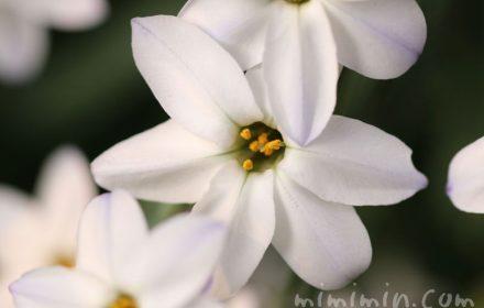 ハナニラの花・白の写真