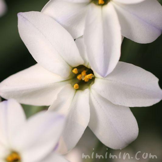 イフェイオンの花の写真