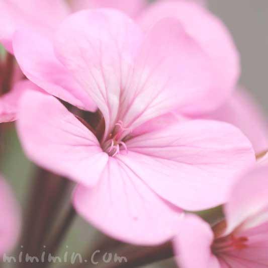 ピンク色のゼラニウム(花の写真 花言葉)の画像