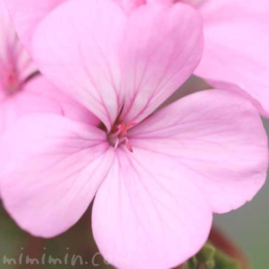 ゼラニウムの花の写真 花言葉