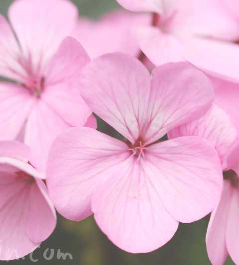 ピンク色のゼラニウム(花の写真&花言葉)