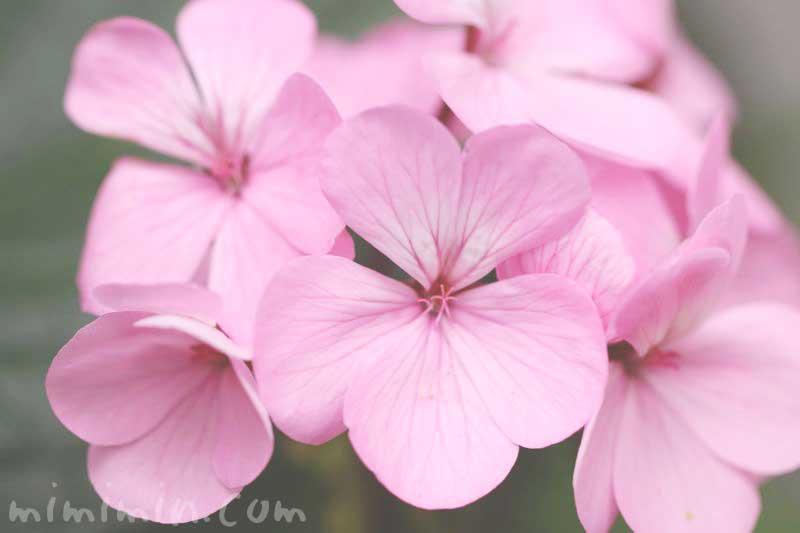 ゼラニウム(花の写真 花言葉)の画像