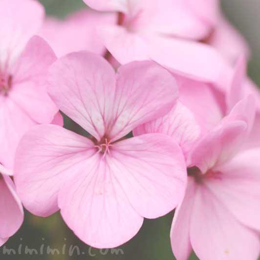ピンク色のゼラニウムの写真 花言葉の画像