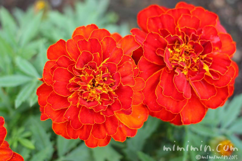 赤いマリーゴールドの花の画像