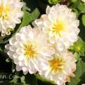 ダリア(プチダリア・スマイル)白色の写真
