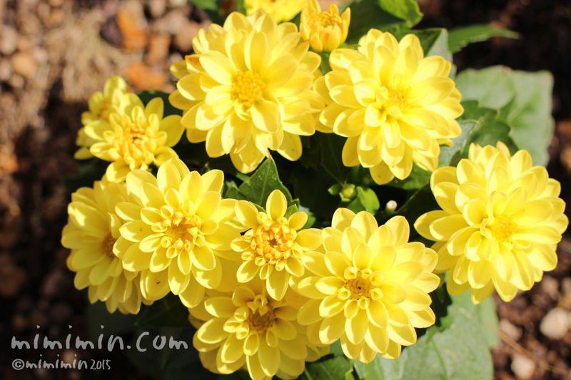 ダリア(プチダリア・スマイル)黄色の写真